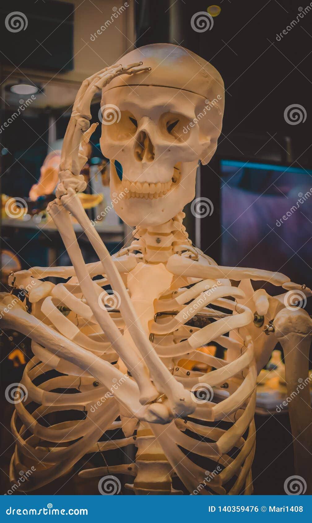 Human skeleton and layout of a human skull closeup,