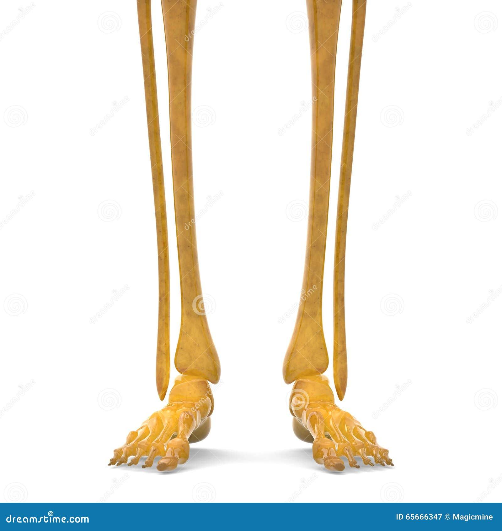 Human Skeleton Leg Joints Stock Illustration Illustration Of Care