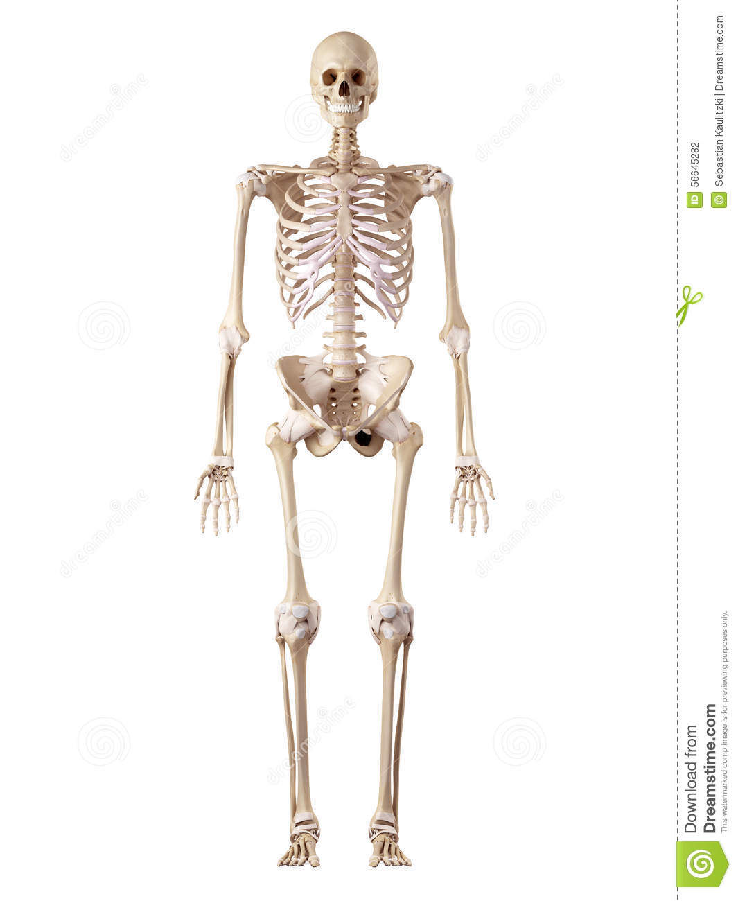 The Human Skeleton And Ligaments Stock Illustration