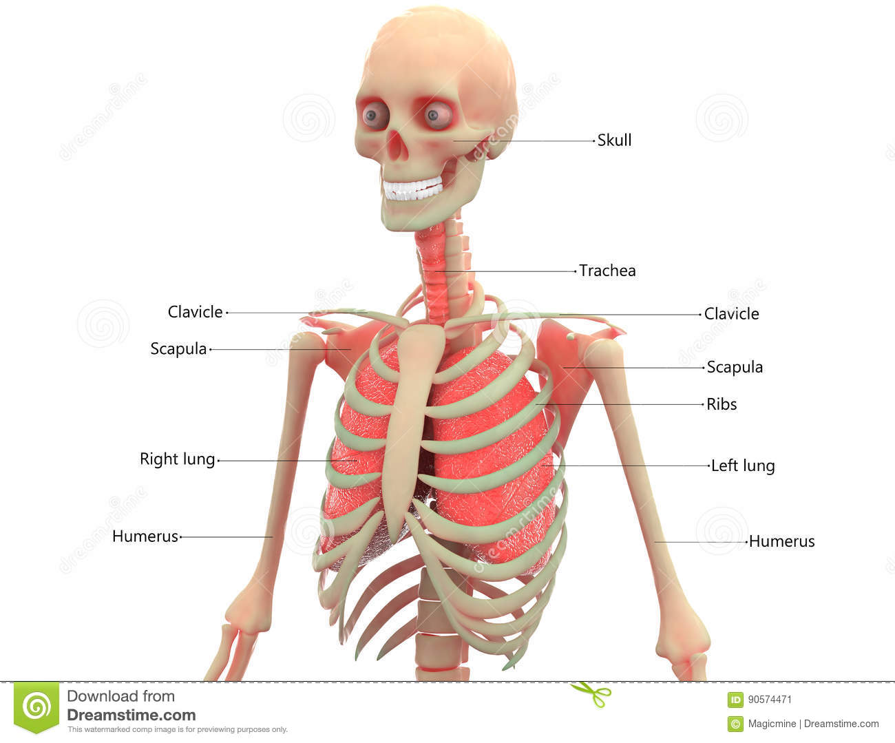 Human Skeleton With Lungs Anatomy Stock Illustration - Illustration ...