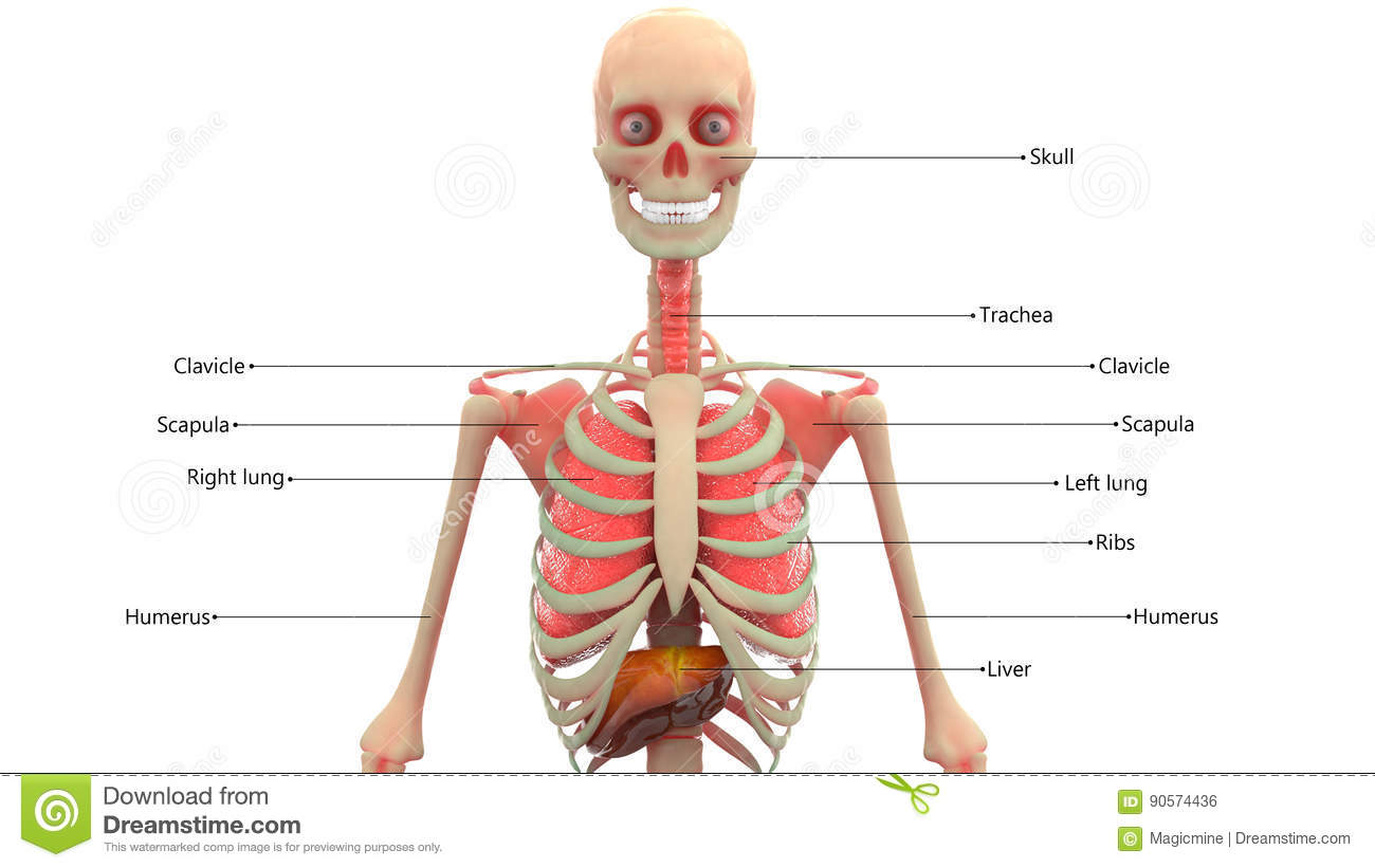 Human Skeleton With Organs Anatomy Stock Illustration - Illustration ...