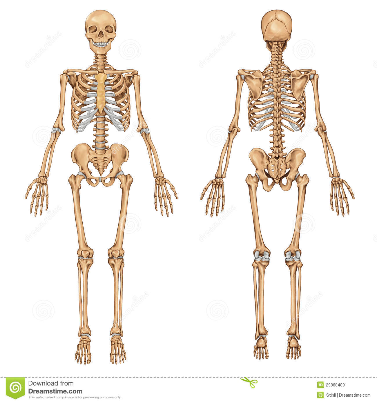 ... and anterior view - didactic board of anatomy of human bony system