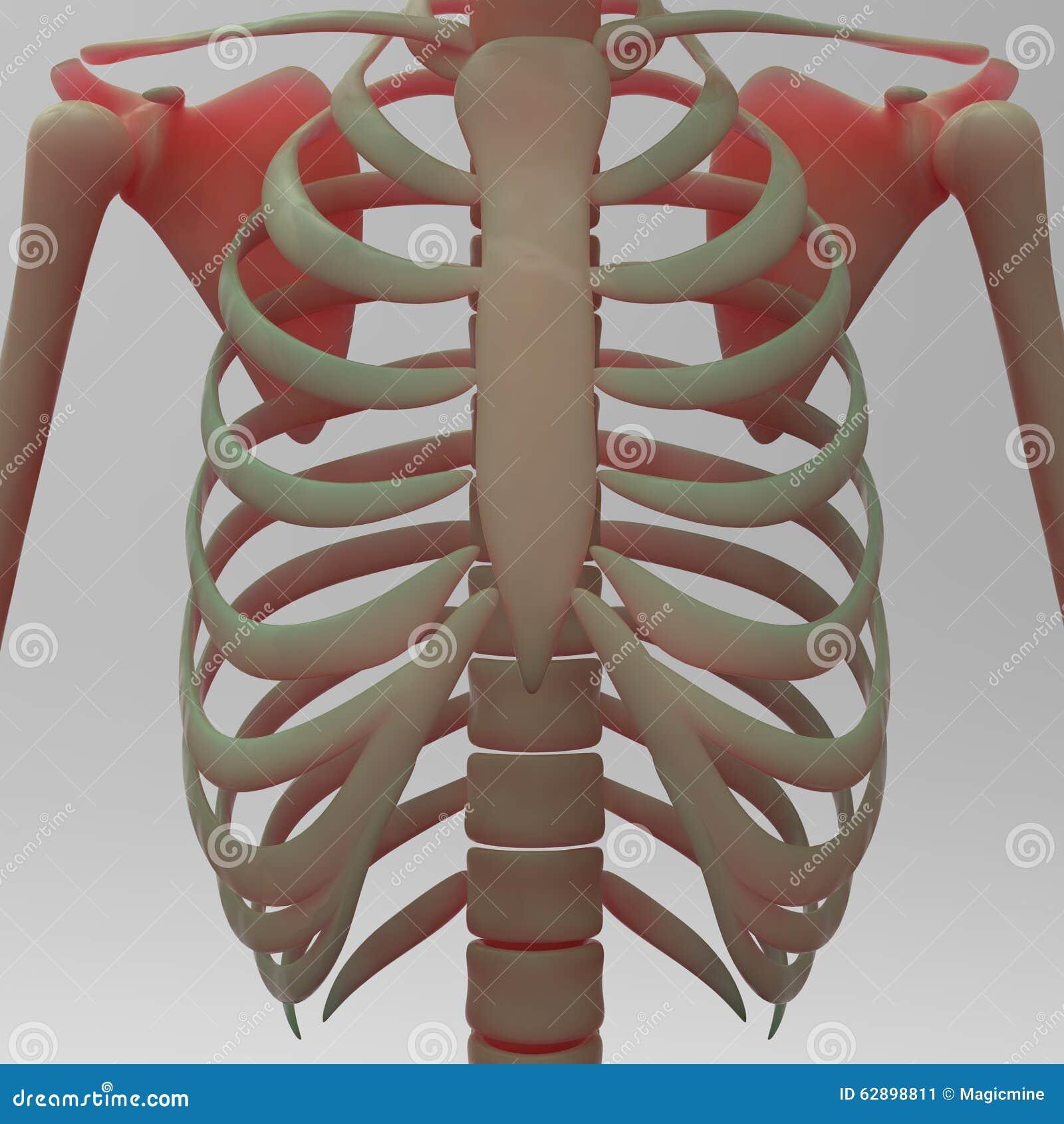 human skeleton ribs stock illustration - image: 62898811, Skeleton