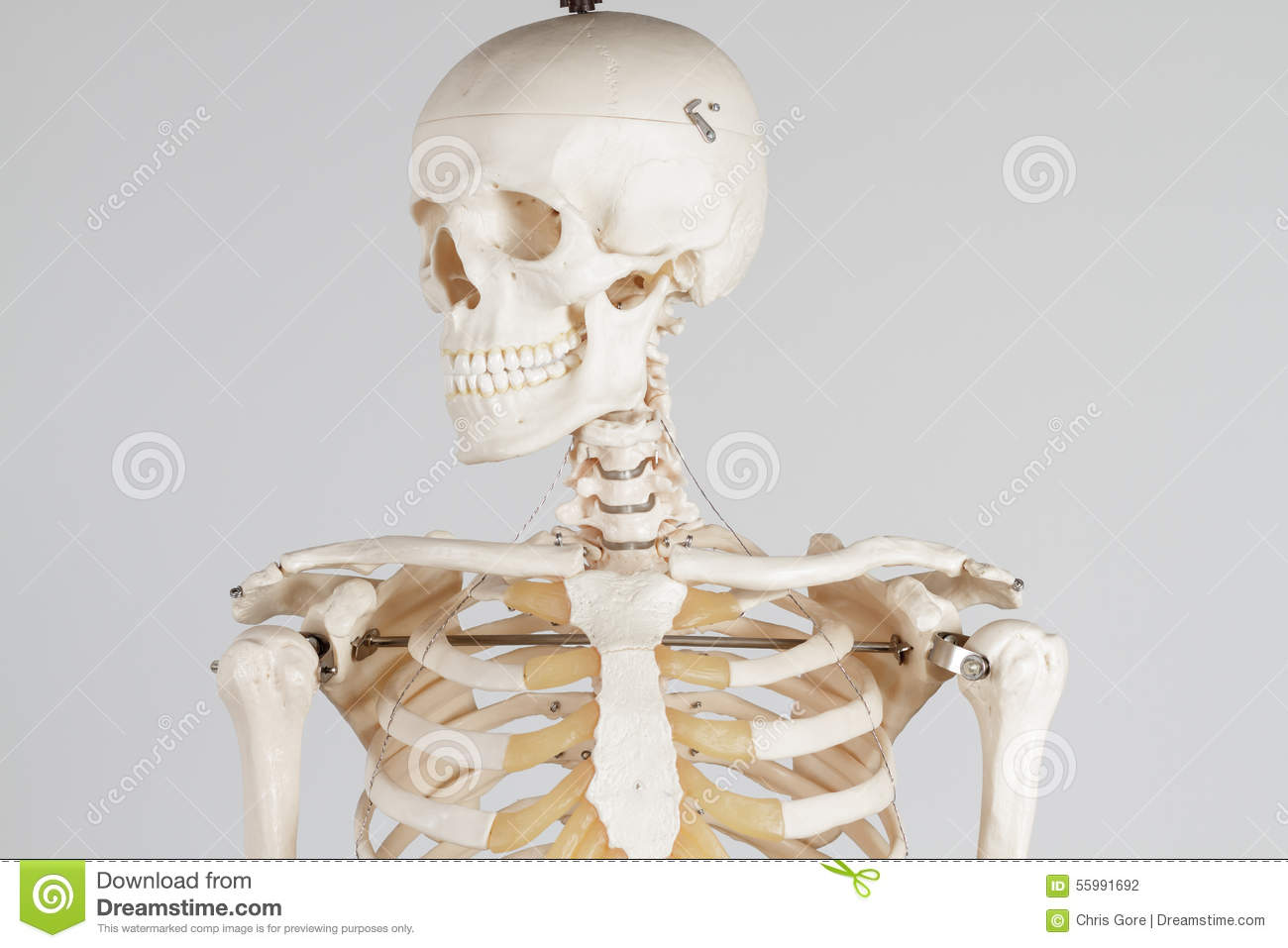 profile of human skeleton royalty free stock image - image: 33639106, Skeleton