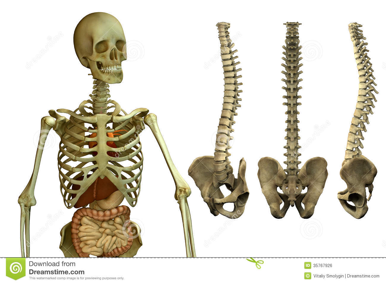 the human skeleton - the spine stock illustration - image: 58830913, Skeleton