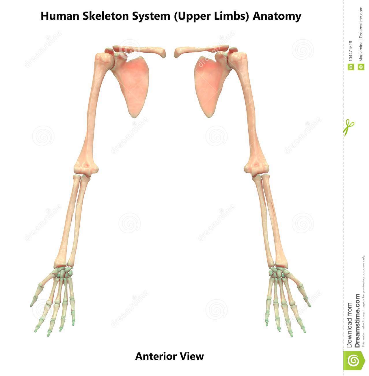 Human Skeleton System Upper Limbs Bones Hand Joints Anatomy Stock