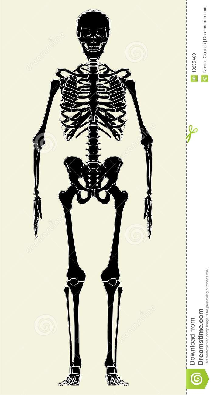 human skeleton vector 01 royalty free stock images - image: 13235469, Skeleton
