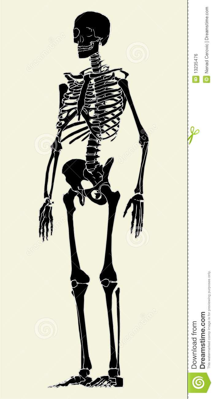 human skeleton vector 03 royalty free stock image - image: 13235476, Skeleton