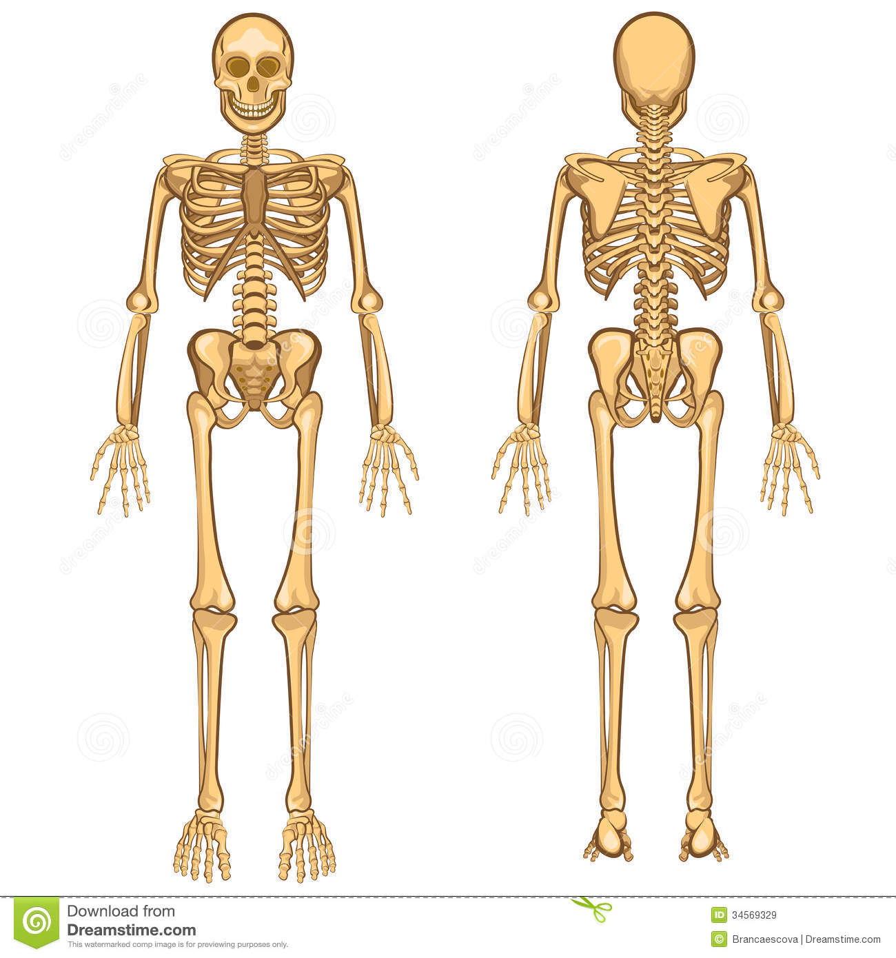 human skeleton vector illustration royalty free stock images, Skeleton