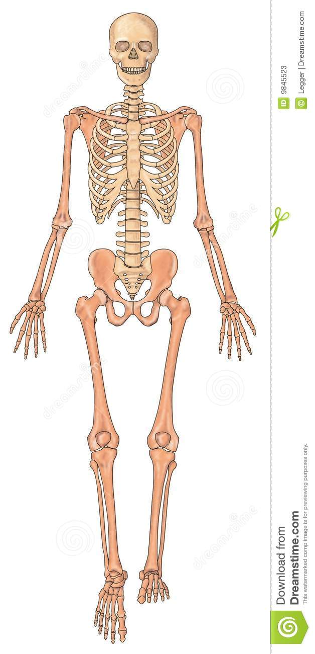 Human Skeleton Ventral View Stock Photos Image 9845523