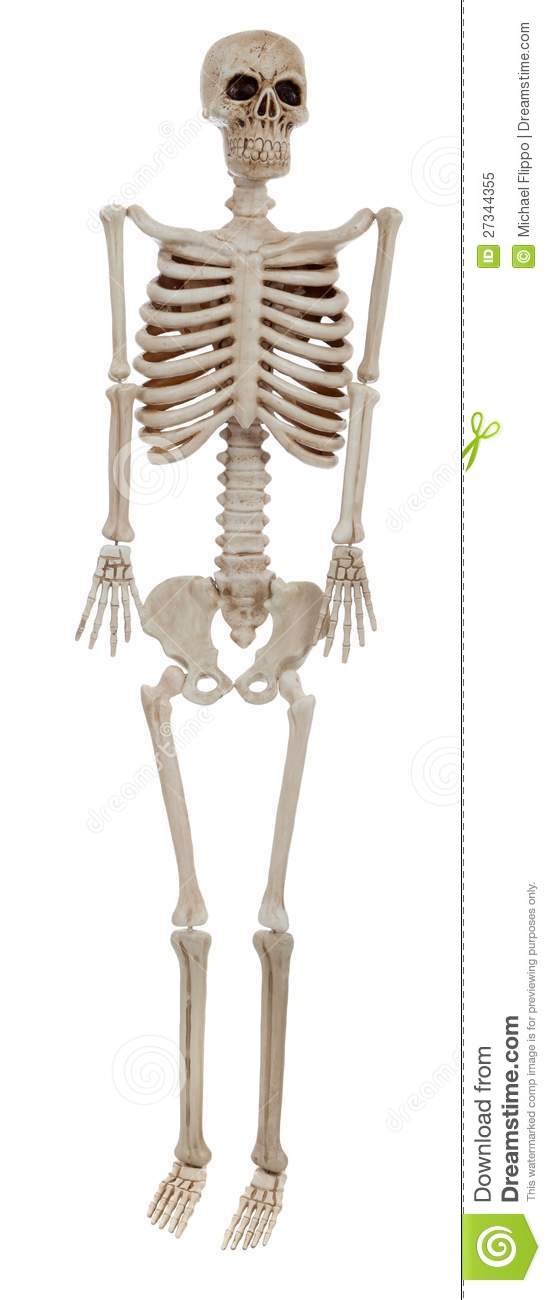 A Human    Skeleton    On A White Background Royalty Free Stock