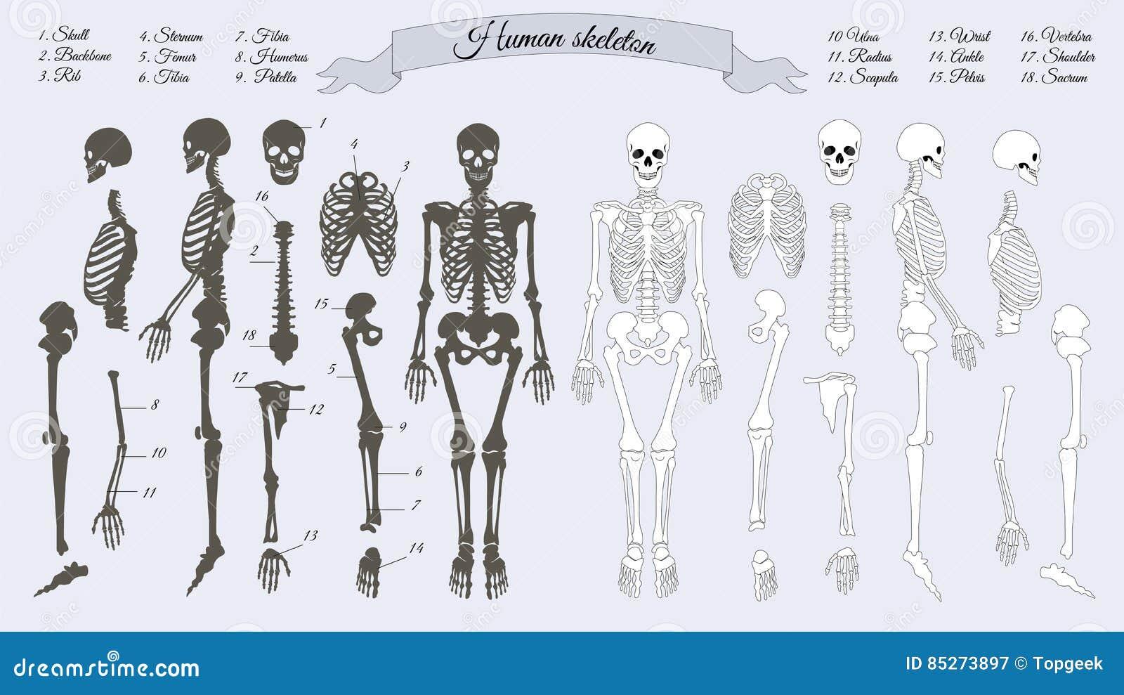 Human Skeleton White And Black Names Of Bones Stock Vector