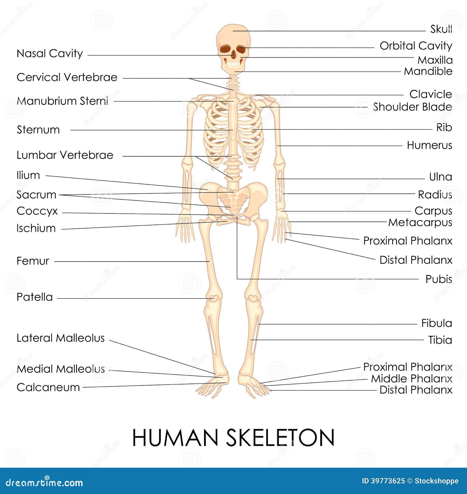 Atemberaubend Knochen Skelett System Bilder - Anatomie Von ...