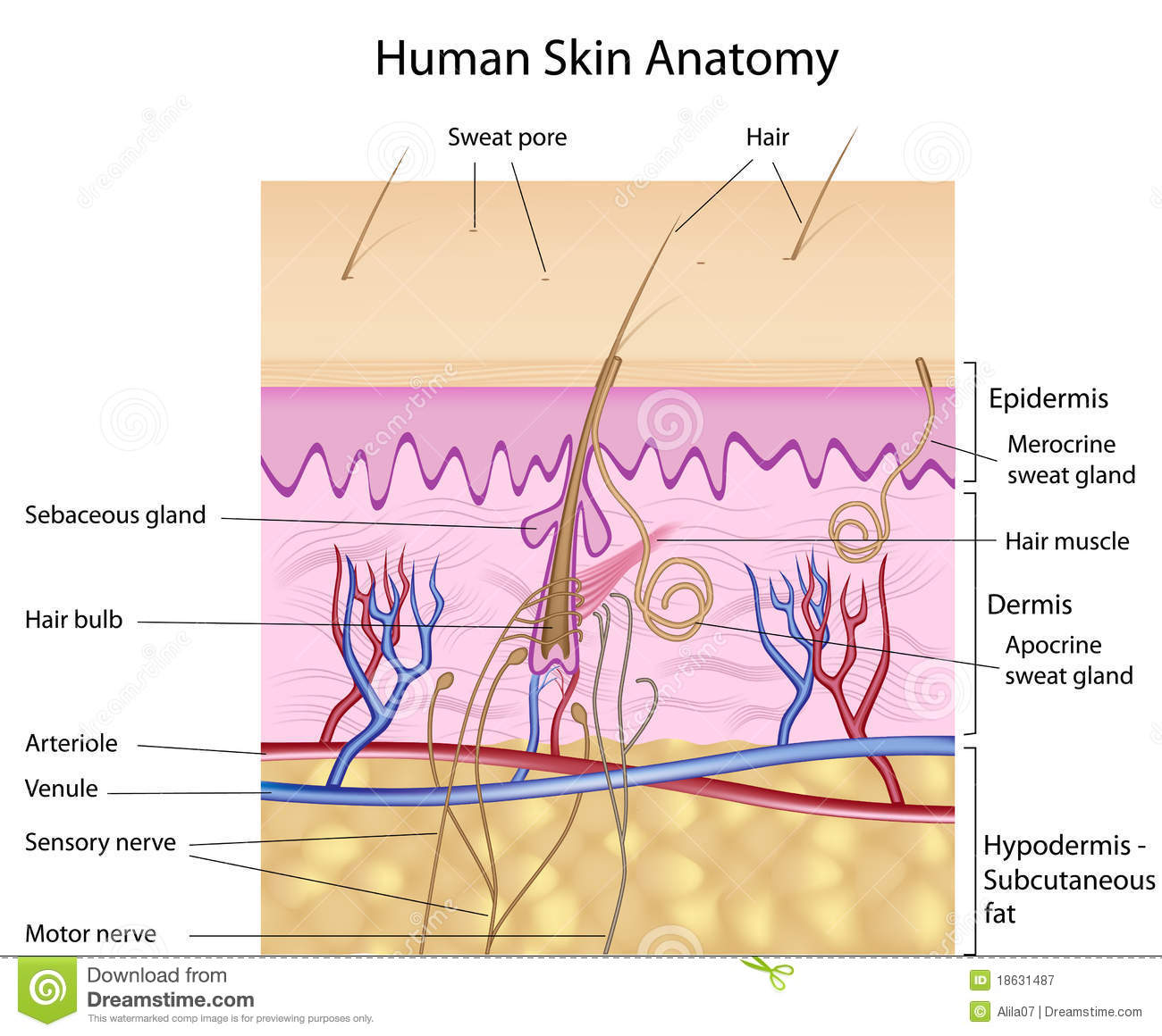 Human Skin Anatomy Labeled Version Stock Vector Illustration Of