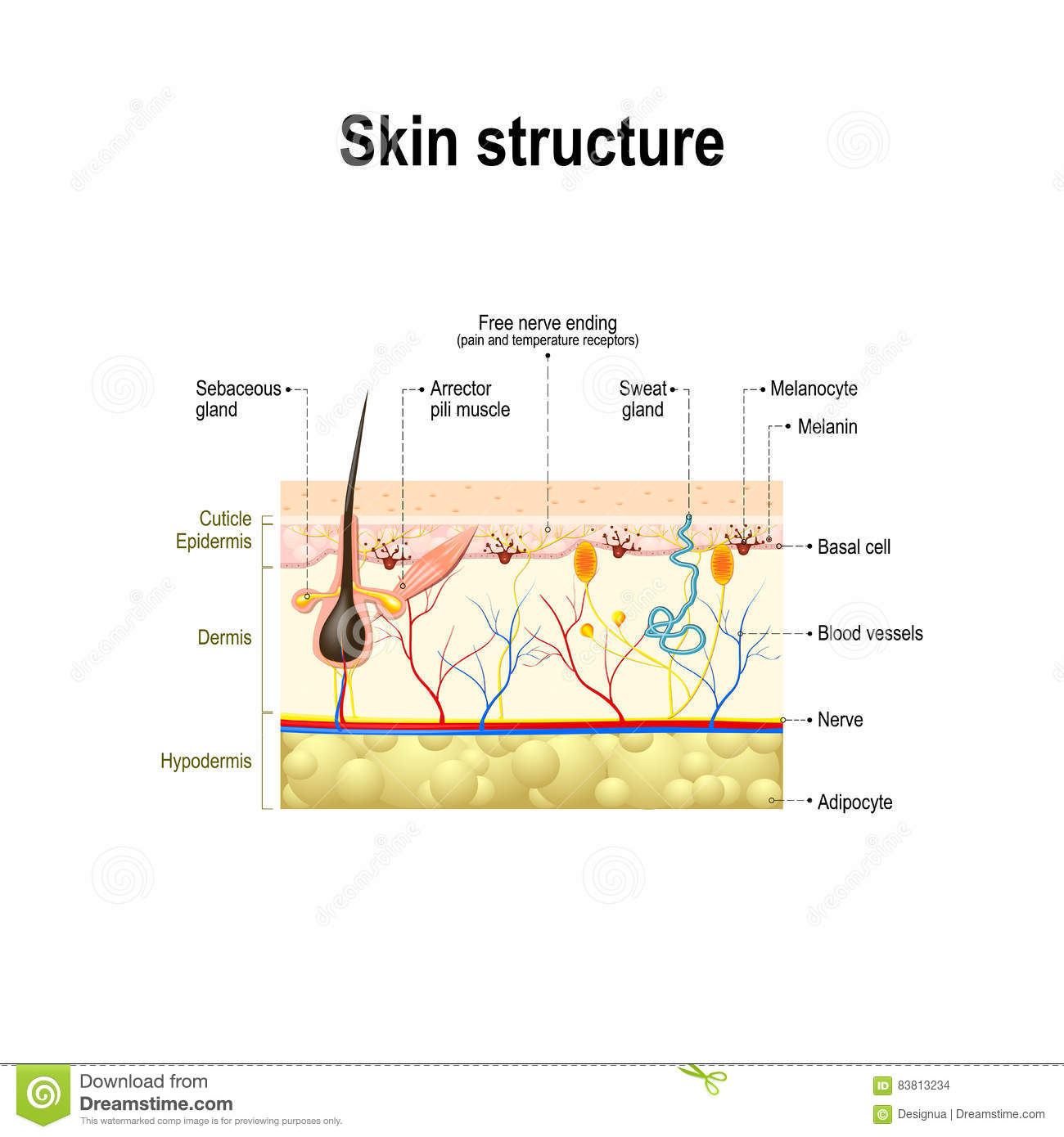 Human skin structure stock vector. Illustration of basal ...
