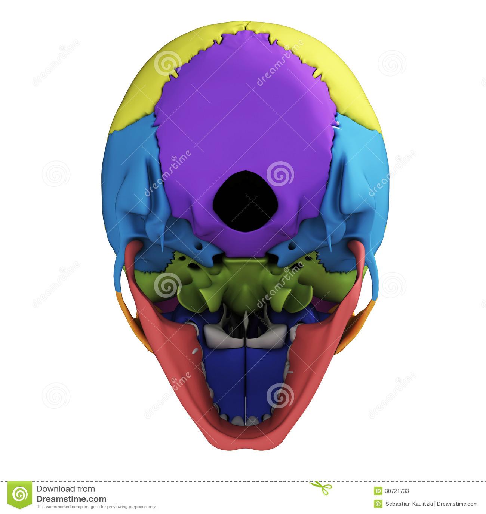 Human Skull Anatomy Stock Illustration Illustration Of Head 30721733