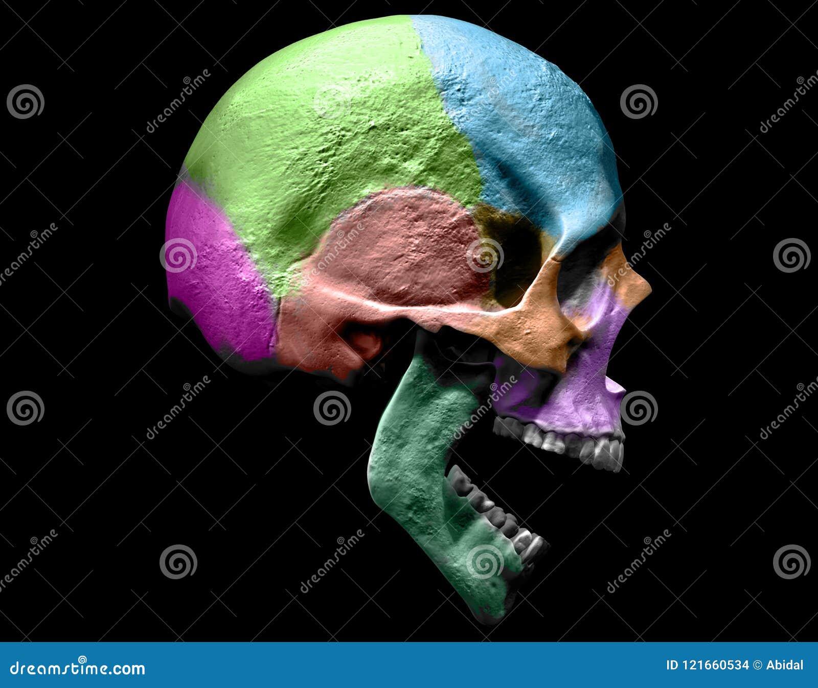 Human Skull Anatomy, 3D Rendering Stock Illustration - Illustration ...