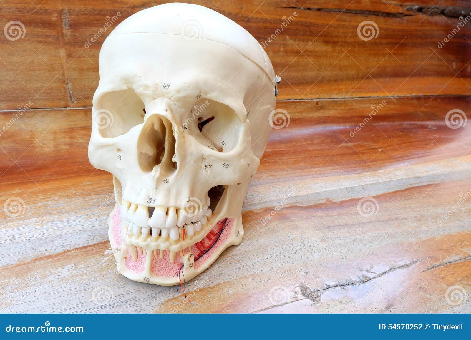 Human skull anatomy model stock photo. Image of anatomy - 54570252
