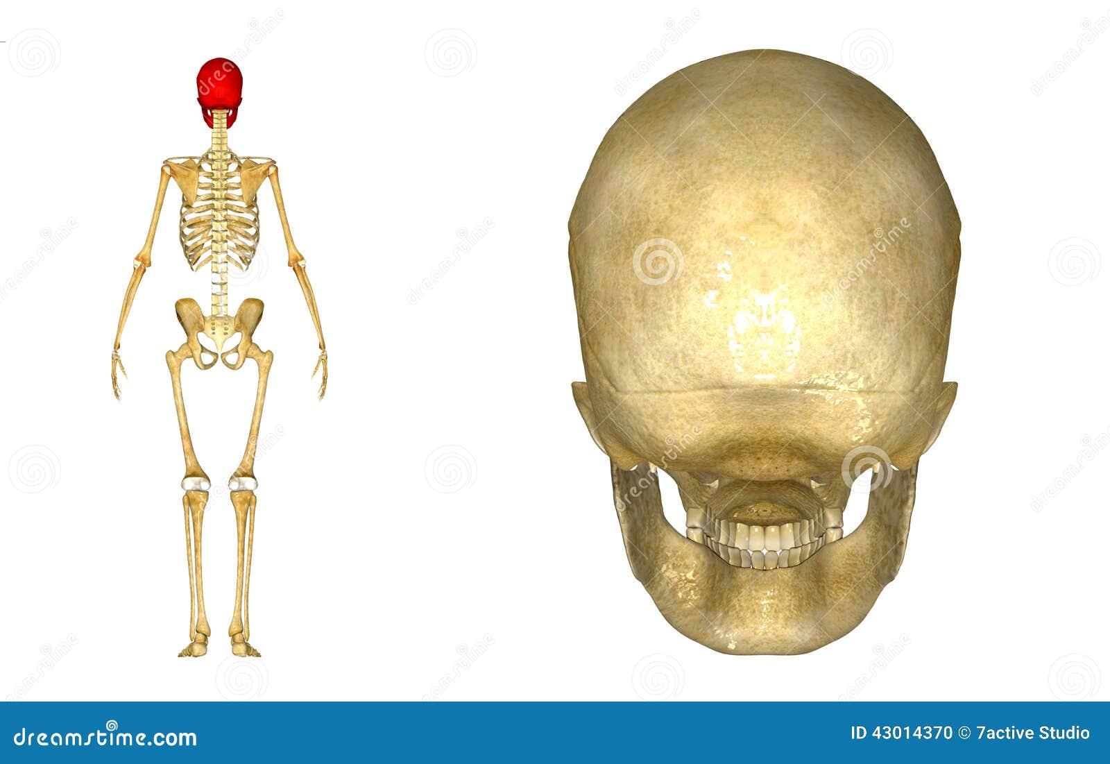 Human Skull back stock illustration. Illustration of fitness - 43014370