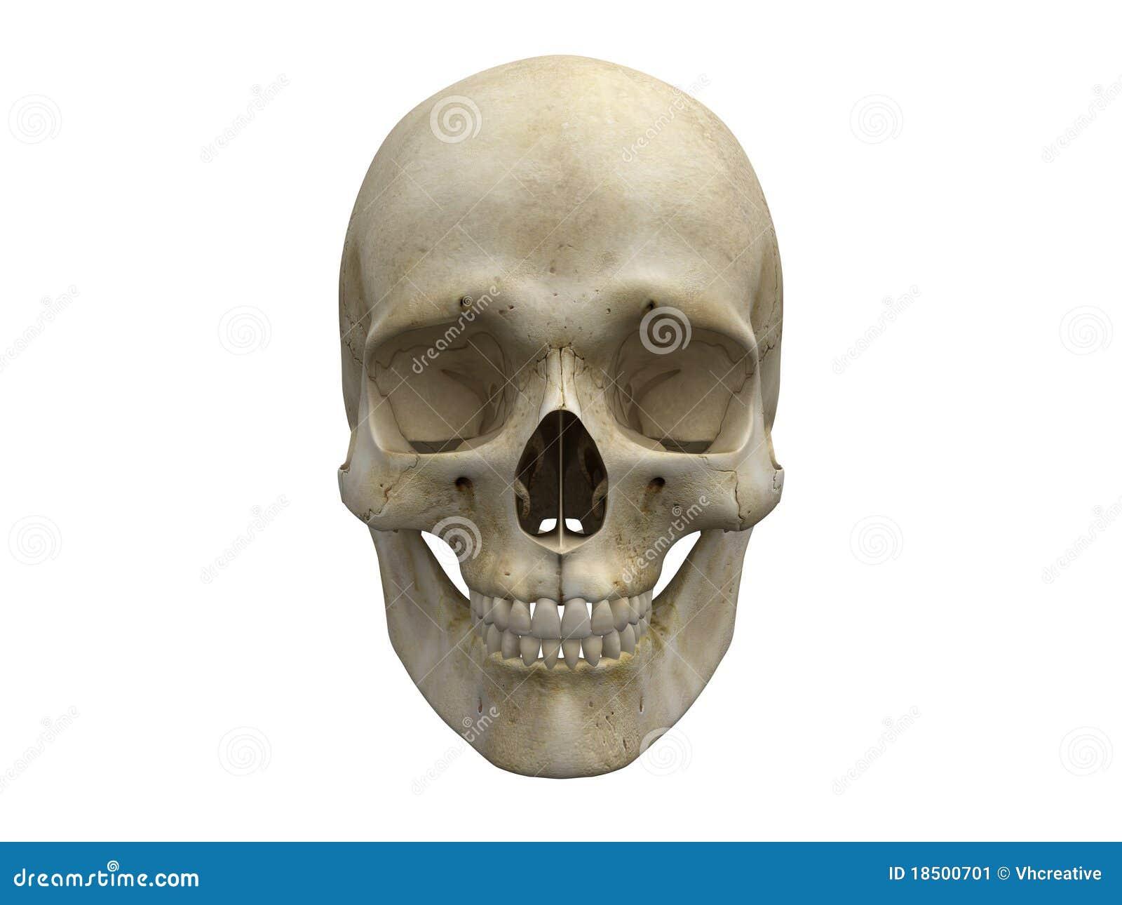 human skull bones frontal view stock image - image: 18500701, Skeleton