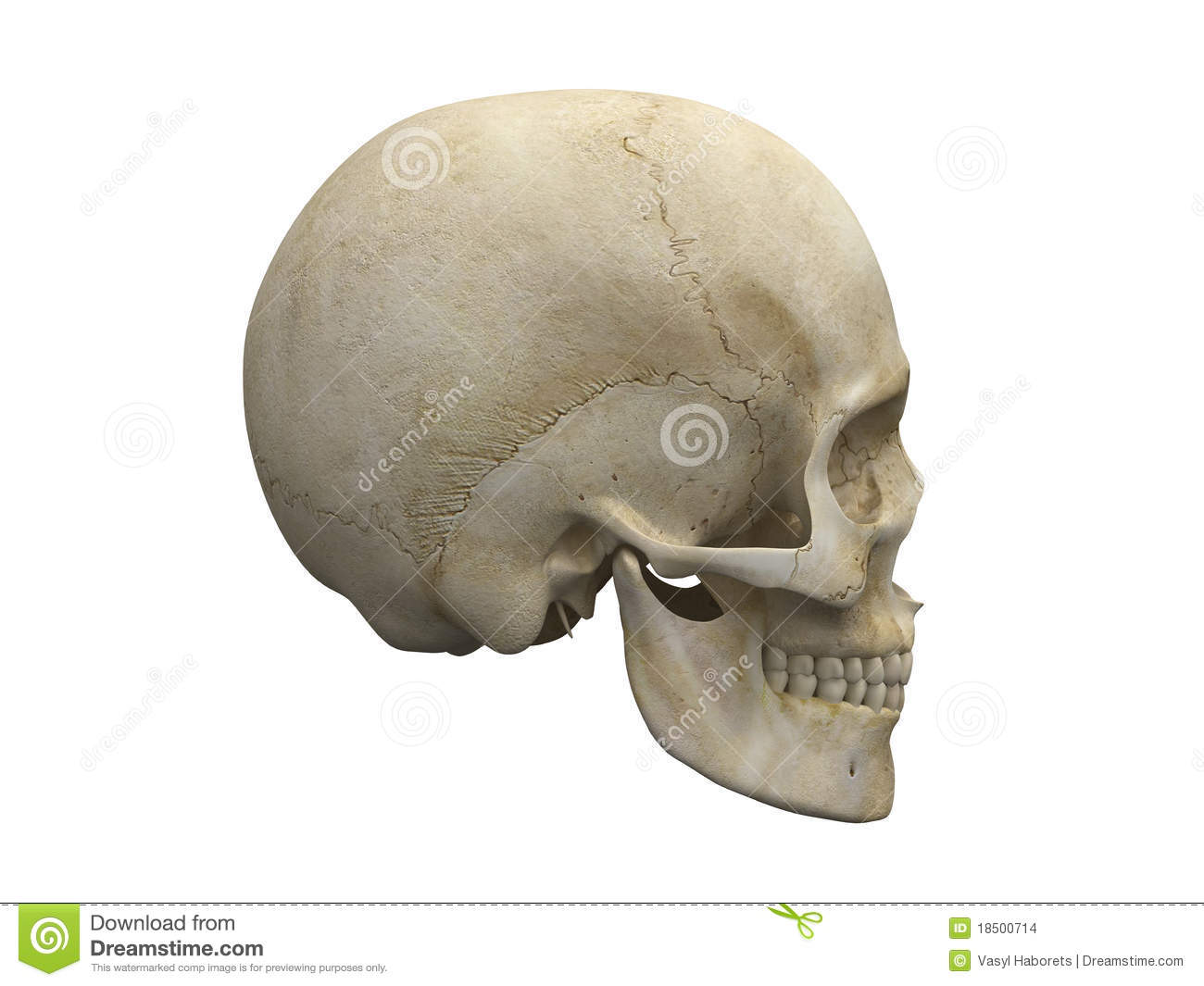 Jawbone stock illustrations 168 jawbone stock illustrations human skull bones side view side view of human scull anatomy illustration medical biocorpaavc Image collections
