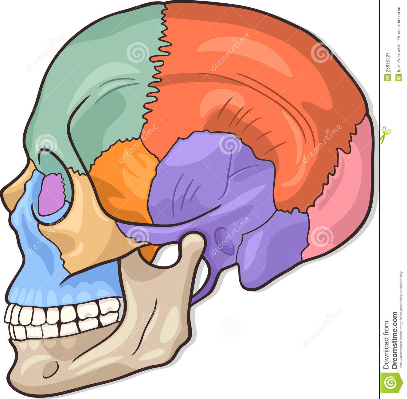 medical vector illustration of human skull bones graphic diagram