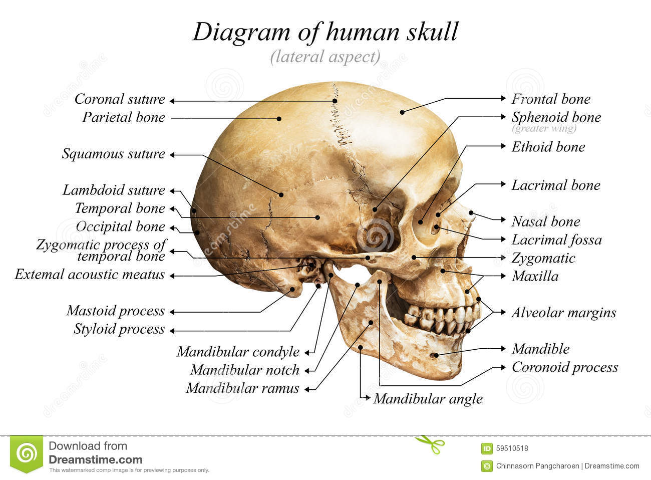 Lateral aspect of human skull diagram on white background for basic ...