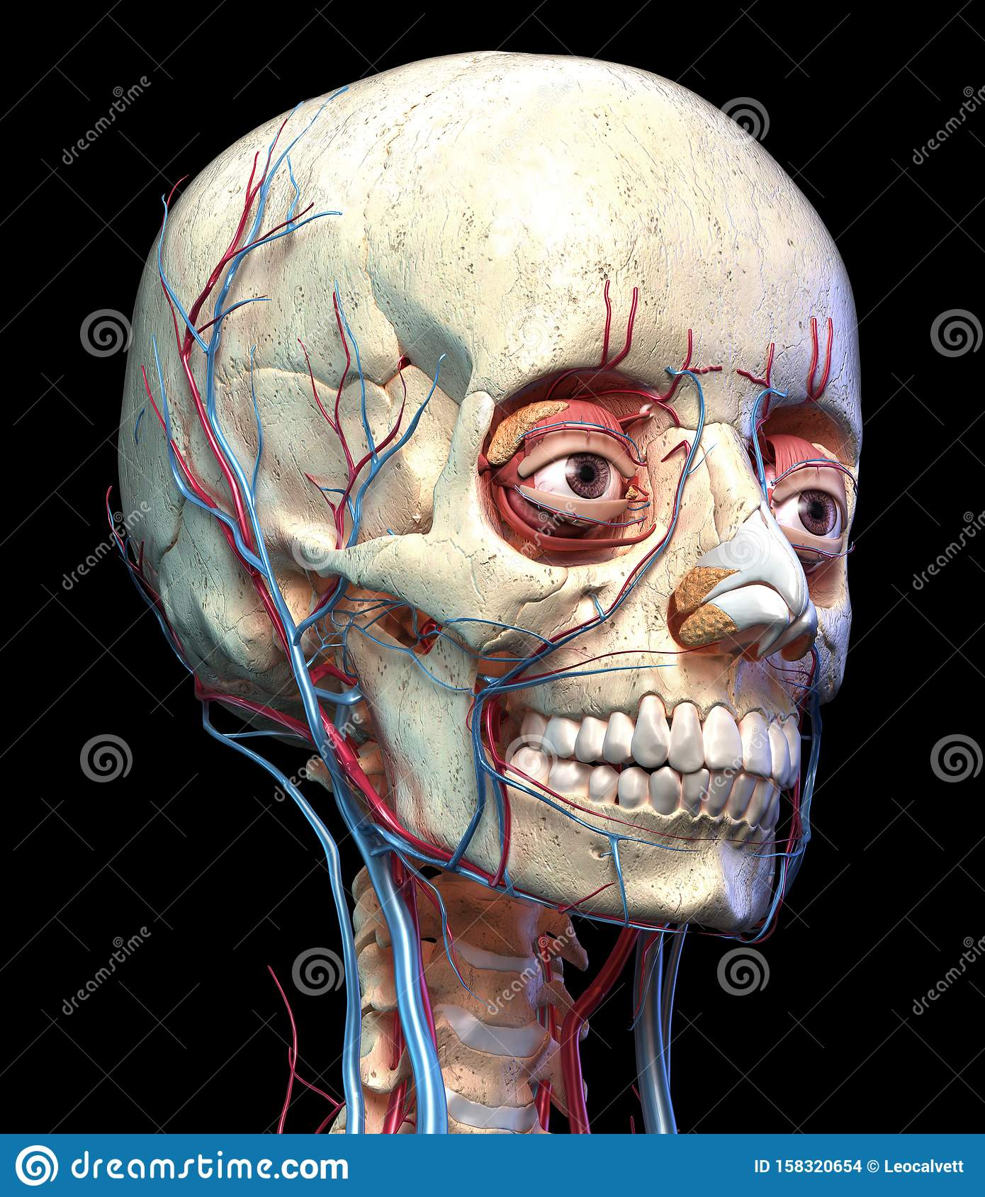 Human Skull With Eyes, Veins And Arteries. Perspective