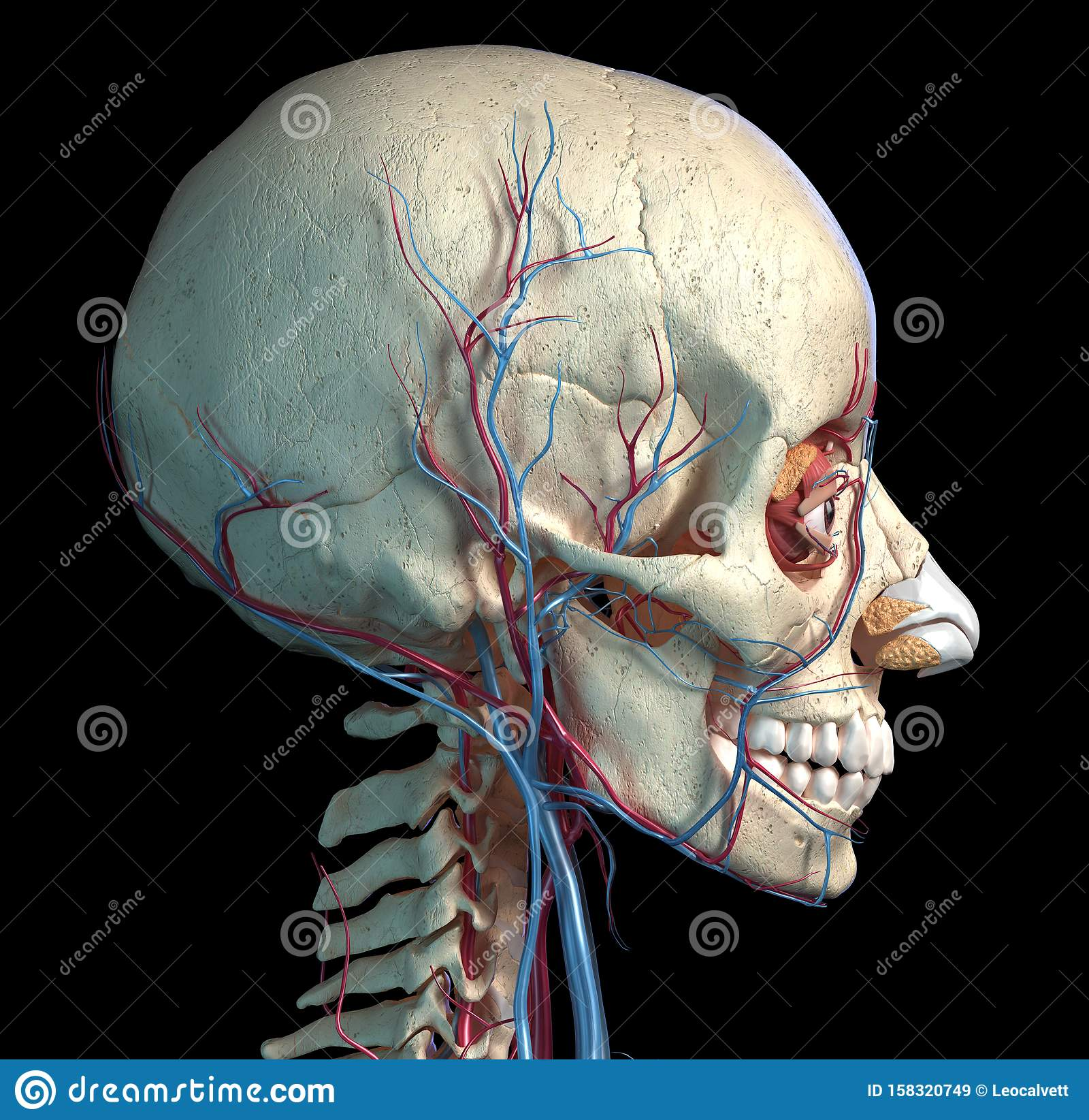 Human Skull With Eyes, Veins And Arteries. Side View Stock