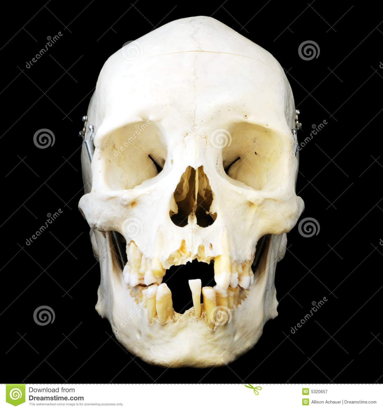 Human Skull Front View Stock Image Image Of Head Death 5320657