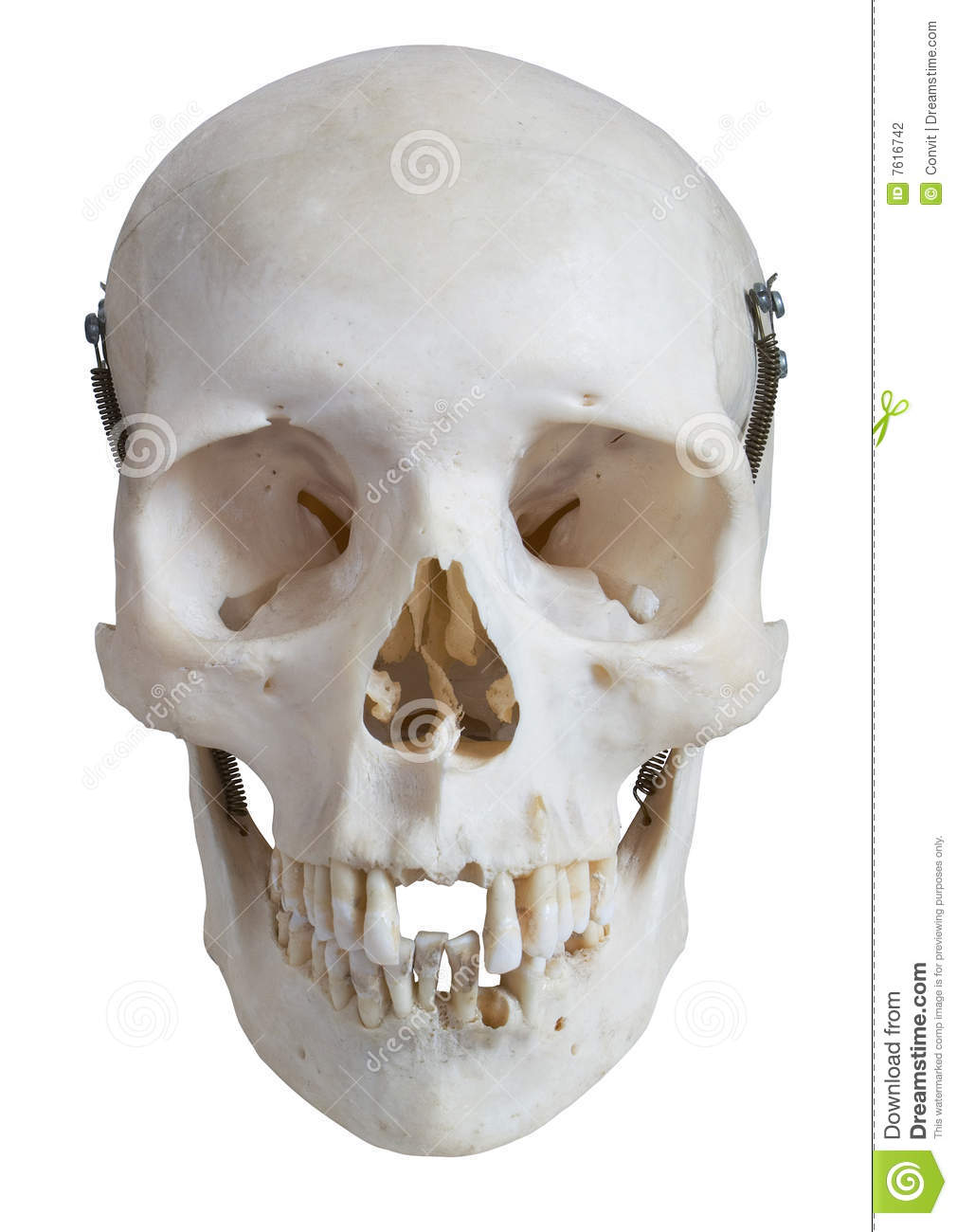 Human Skull Frontal View With Clipping Path Stock Photo Image Of