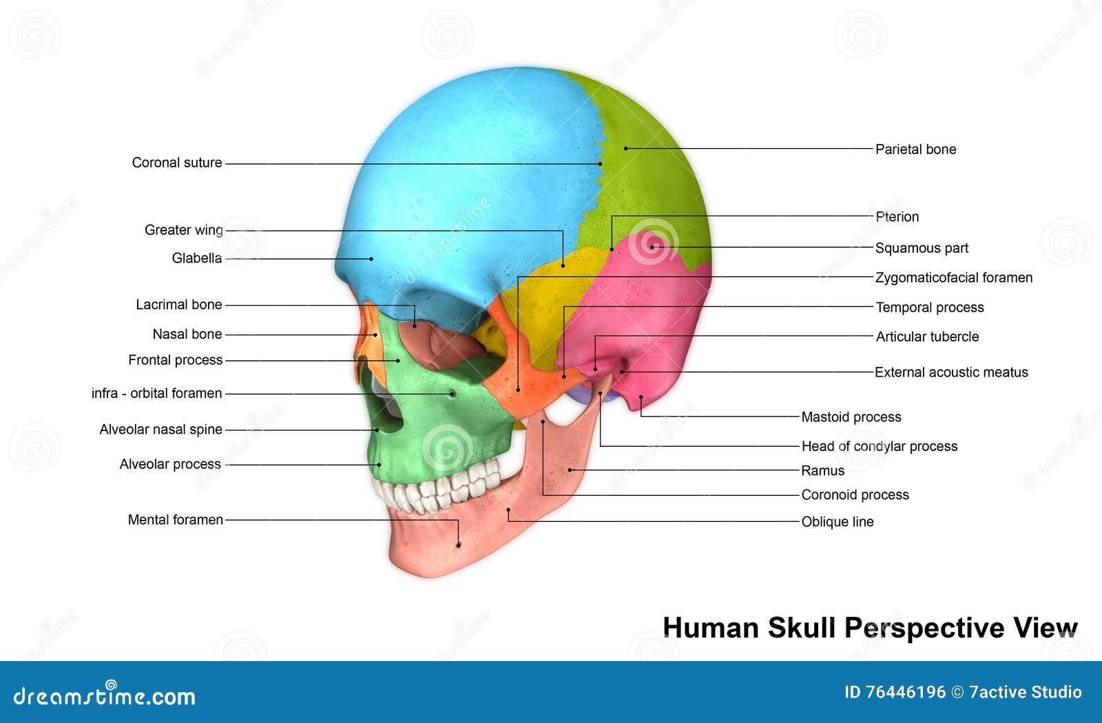 Human Skull stock illustration. Illustration of skeletal - 76446196