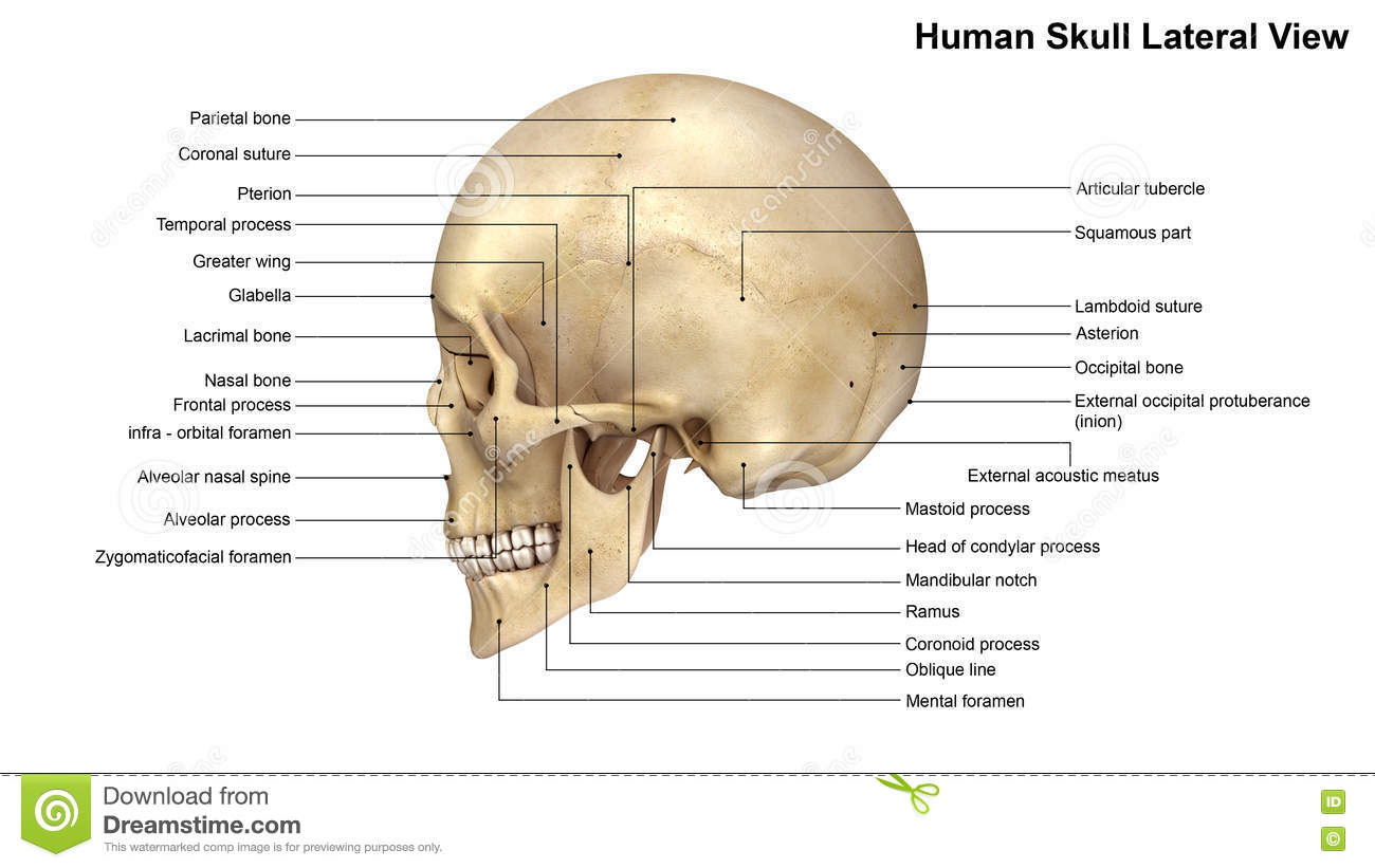 a collection of 22 bones, the skull protects the all-important brain and  supports the other soft tissues of the head  during fetal development, the  bones of