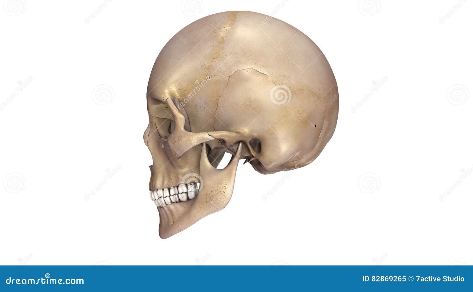 Human Skull Lateral View Stock Illustration Illustration Of