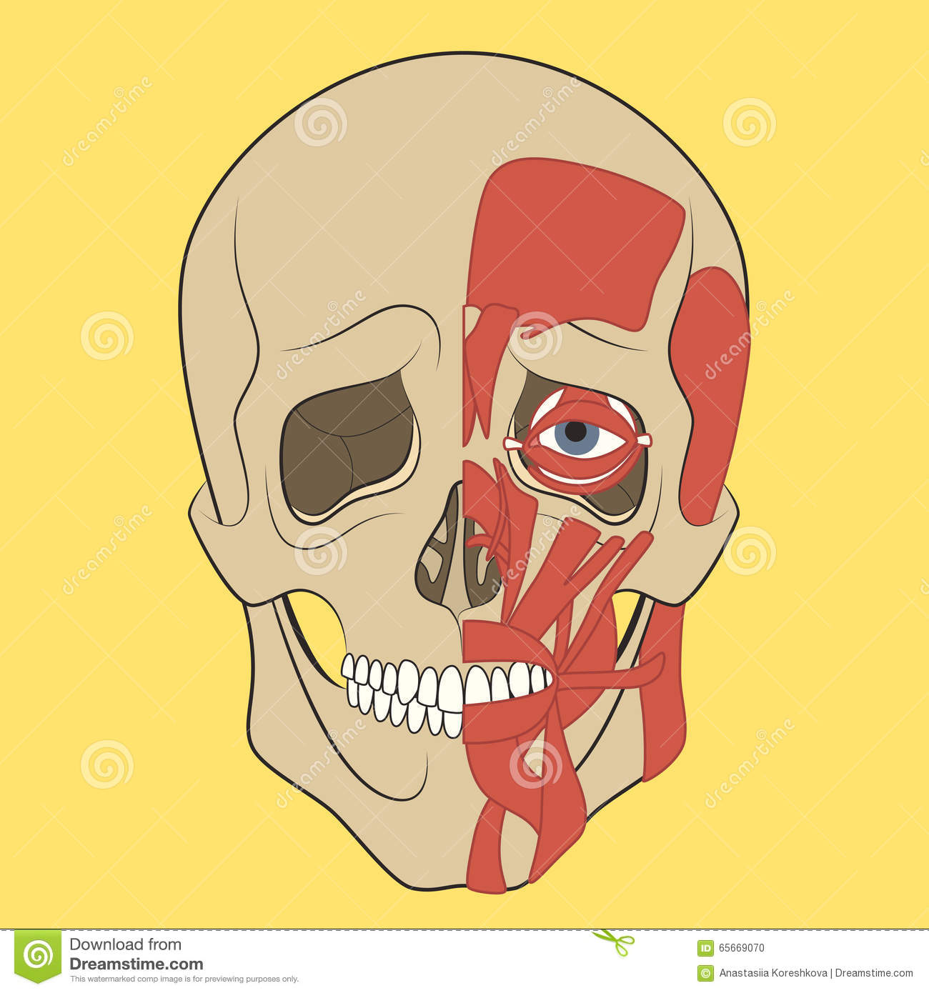 Human Skull With Muscle System. Stock Vector - Illustration of ...