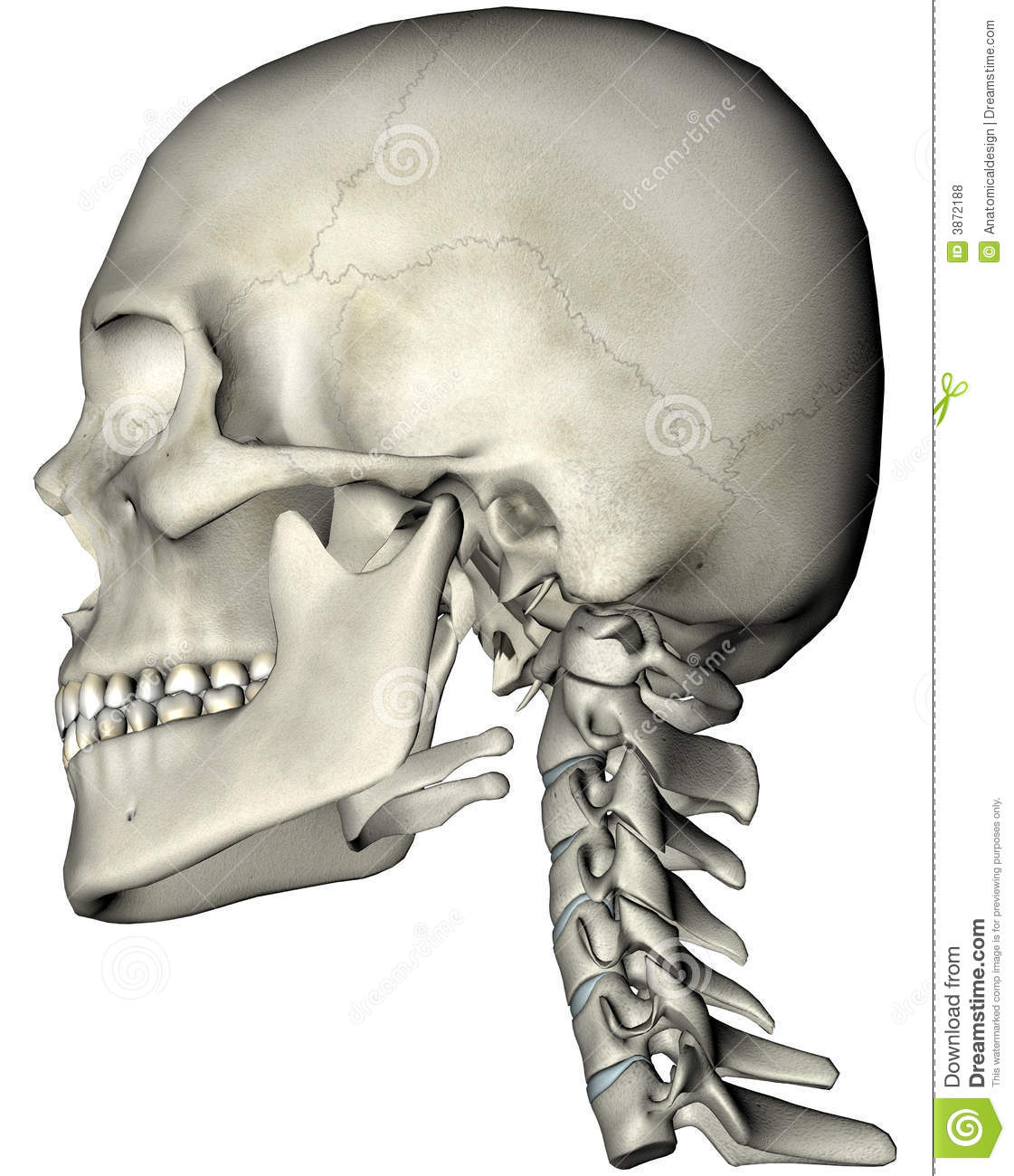 Human Skull And Neck Lateral Stock Illustration Illustration Of
