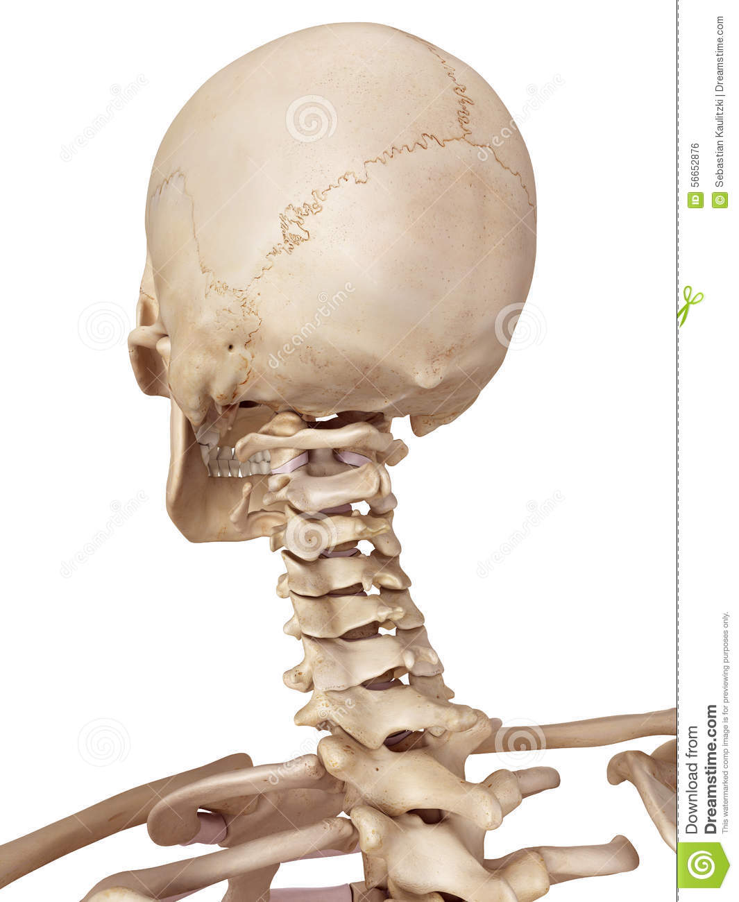 The Human Skull And Neck Stock Illustration Illustration Of Graphic