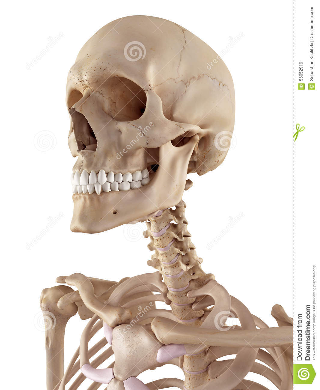 The Human Skull And Neck Stock Illustration - Image: 56652916