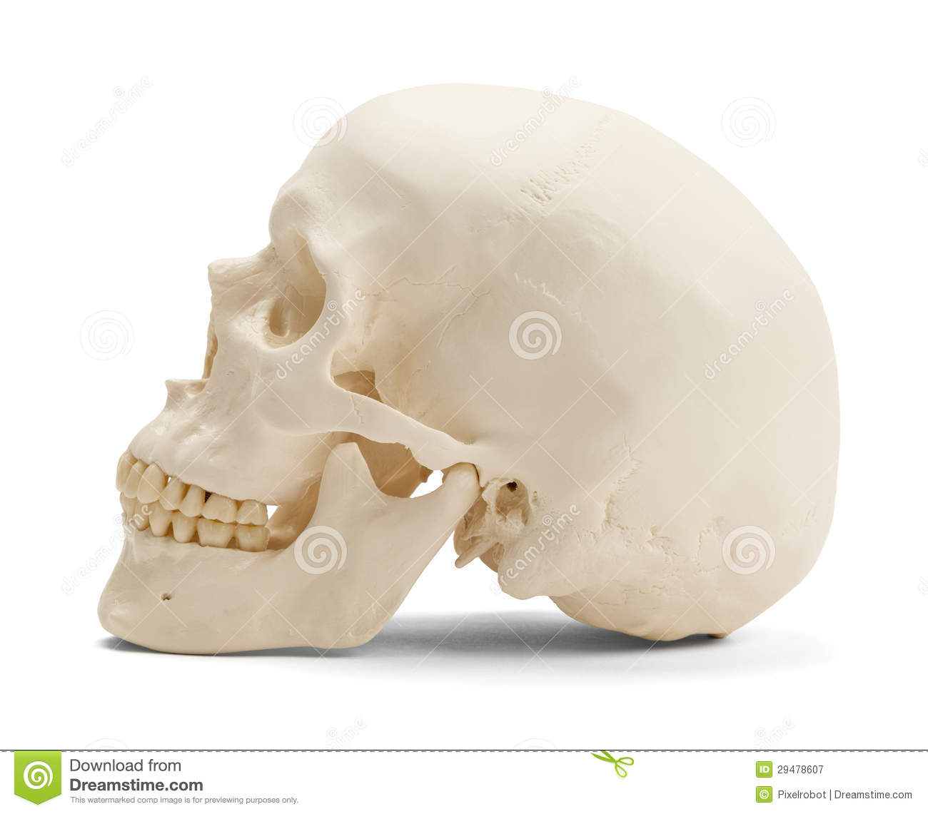 Human Skull Side View Royalty Free Stock Photography - Image: 29478607