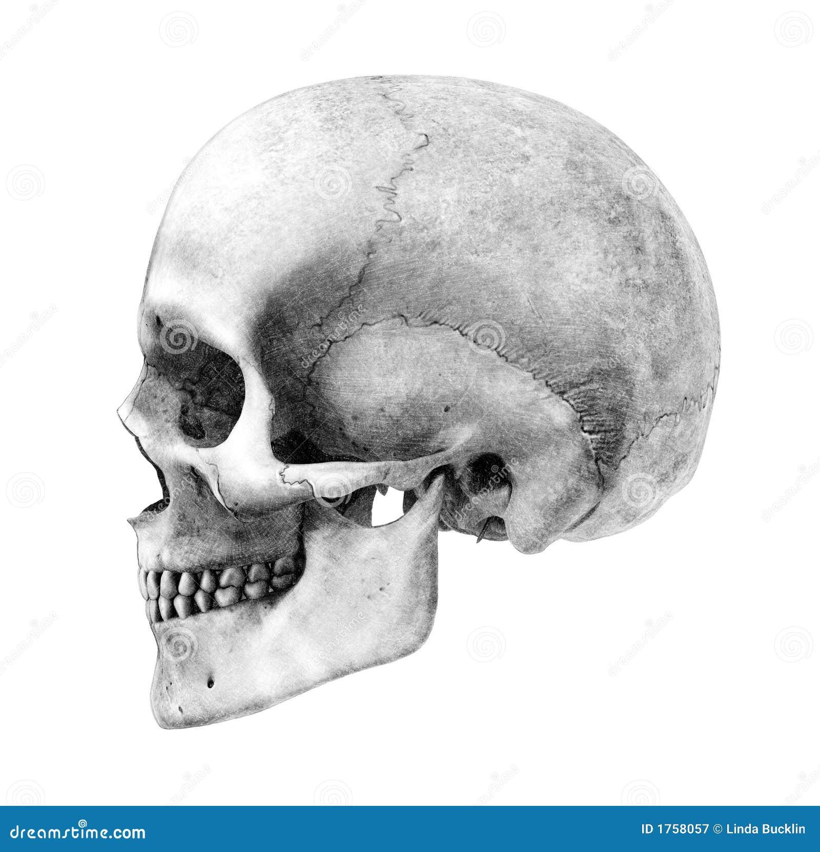Drawing human ear royalty free stock photography image 25570937 - Royalty Free Stock Photo Drawing Human