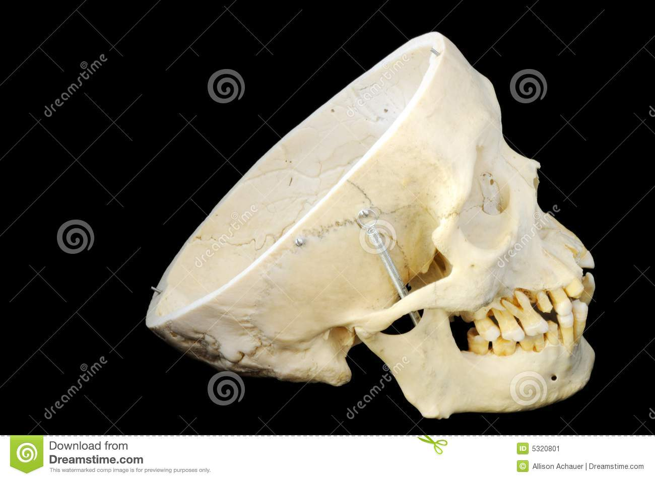 Human Skull Without Skullcap, Side View Stock Image ... Human Head Brain Vector
