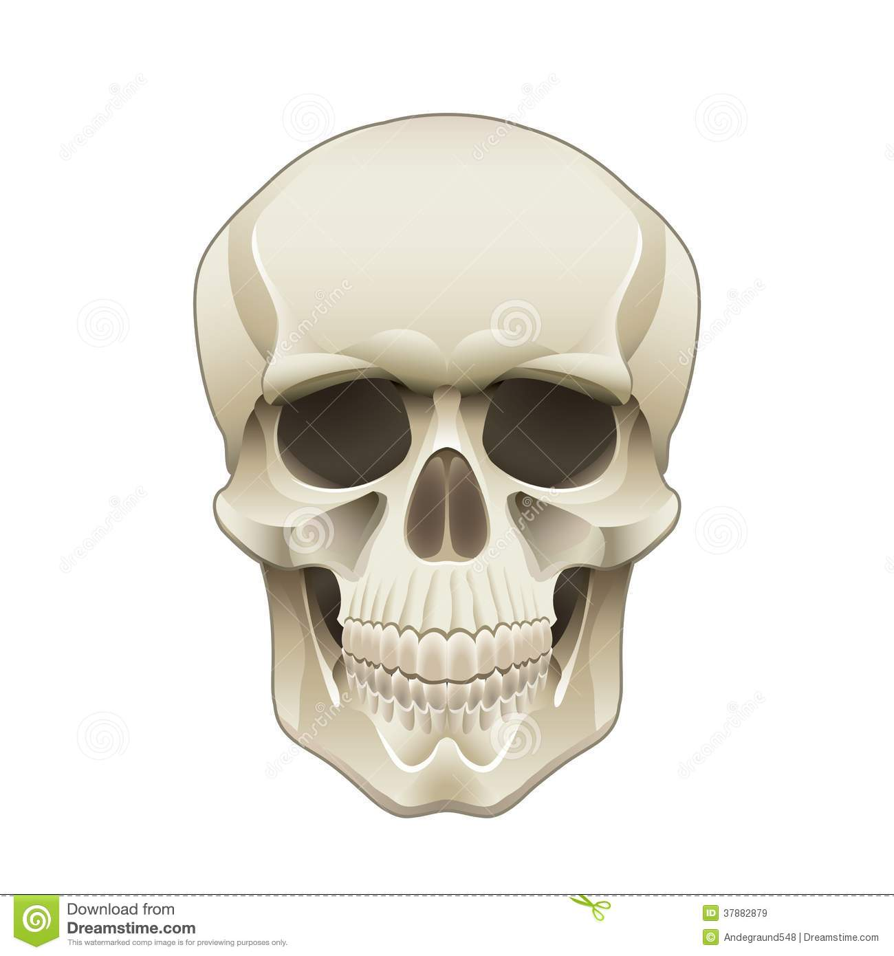 Human Skull Vector Illustration Royalty Free Stock Images ...