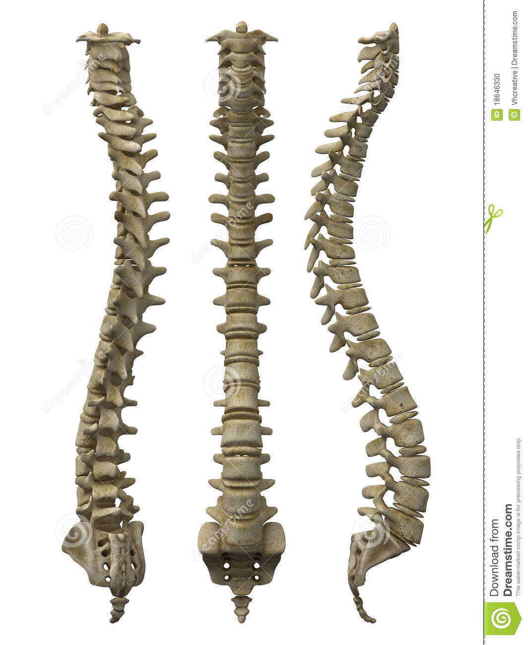 Human Spine Stock Illustration Illustration Of Medical