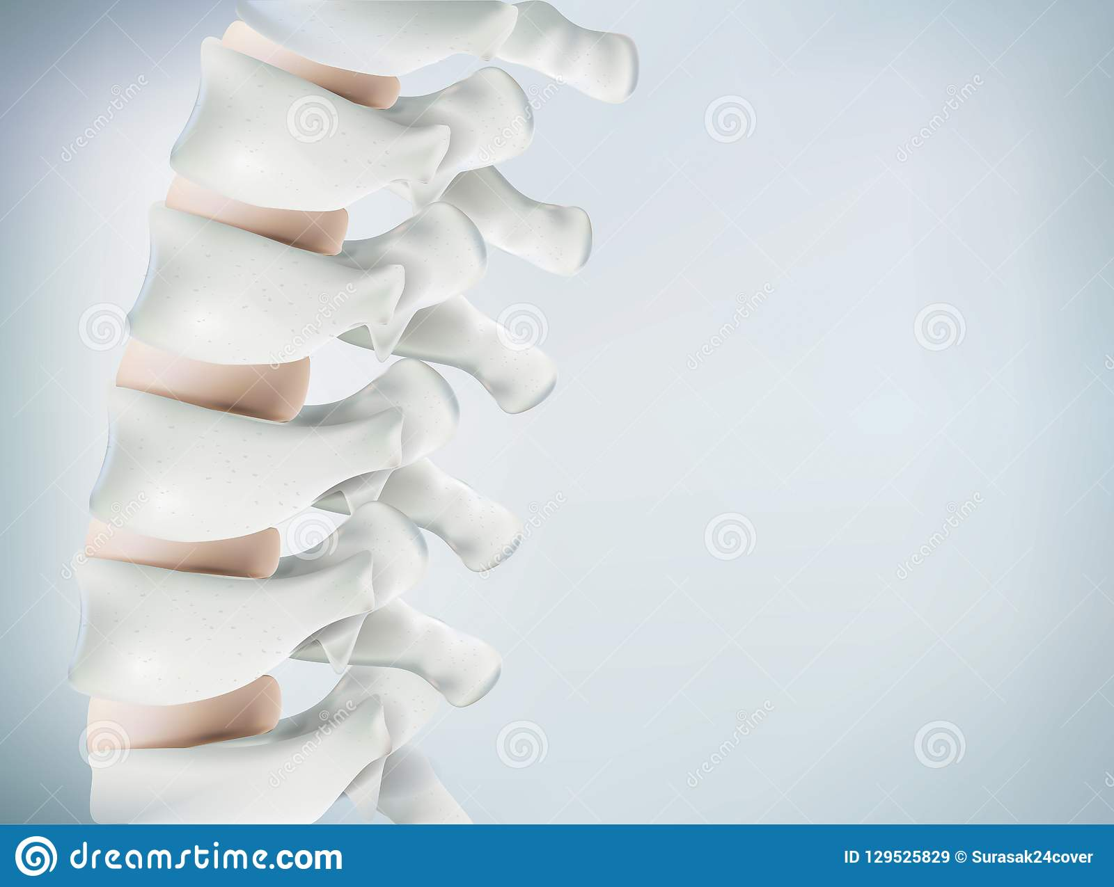 The human spine image is realistic. Shows the medical accuracy of human skeleton and 3D rendering.