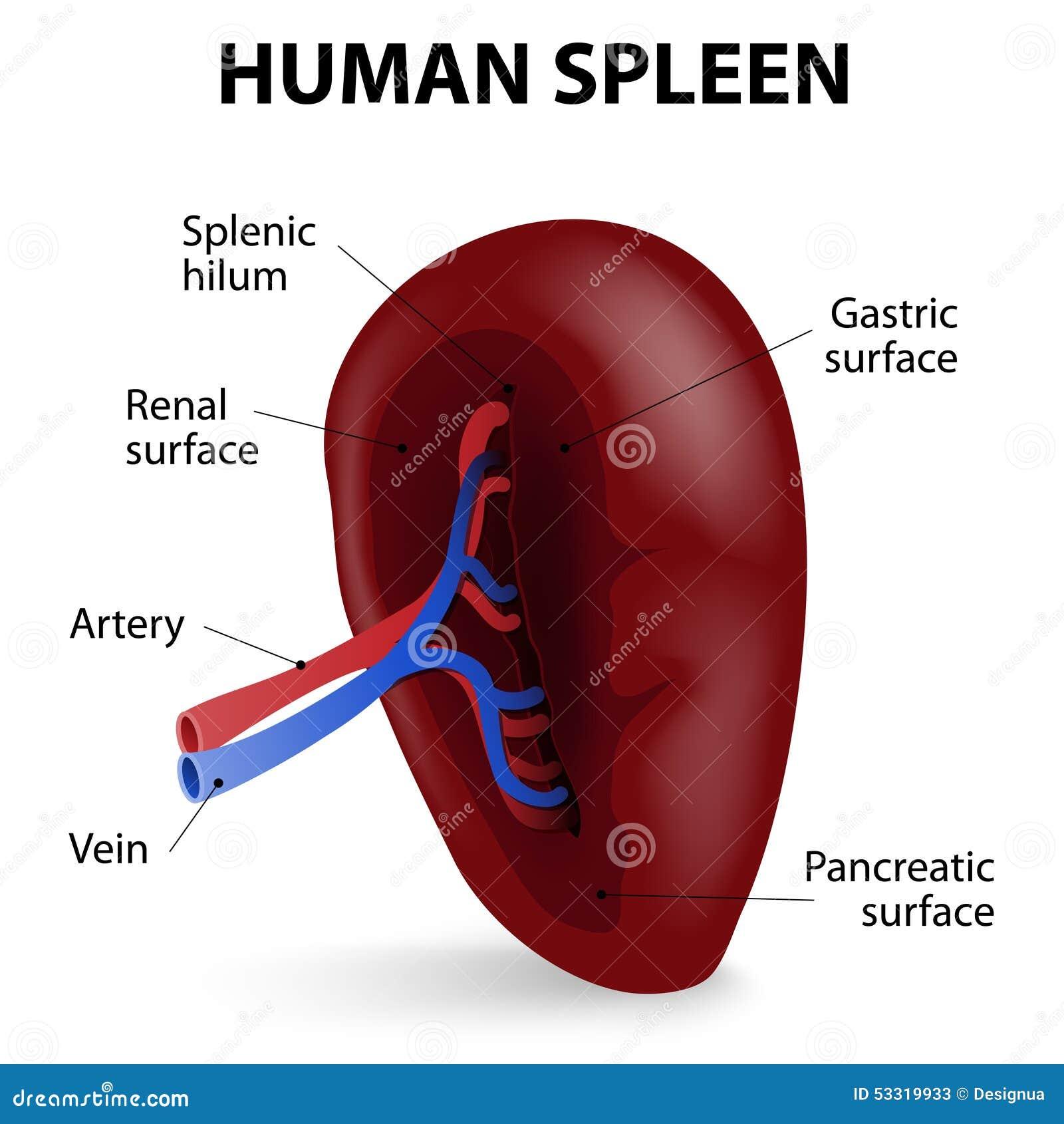 Human anatomy spleen pain