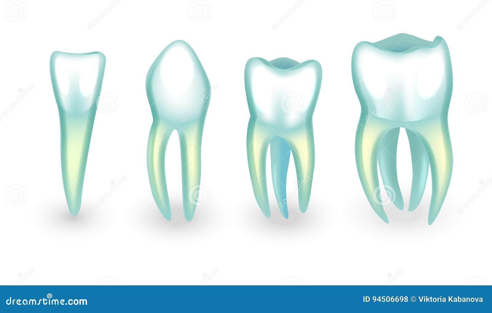 The Human Teeth Incisor Canine And Molarsb Stock Vector