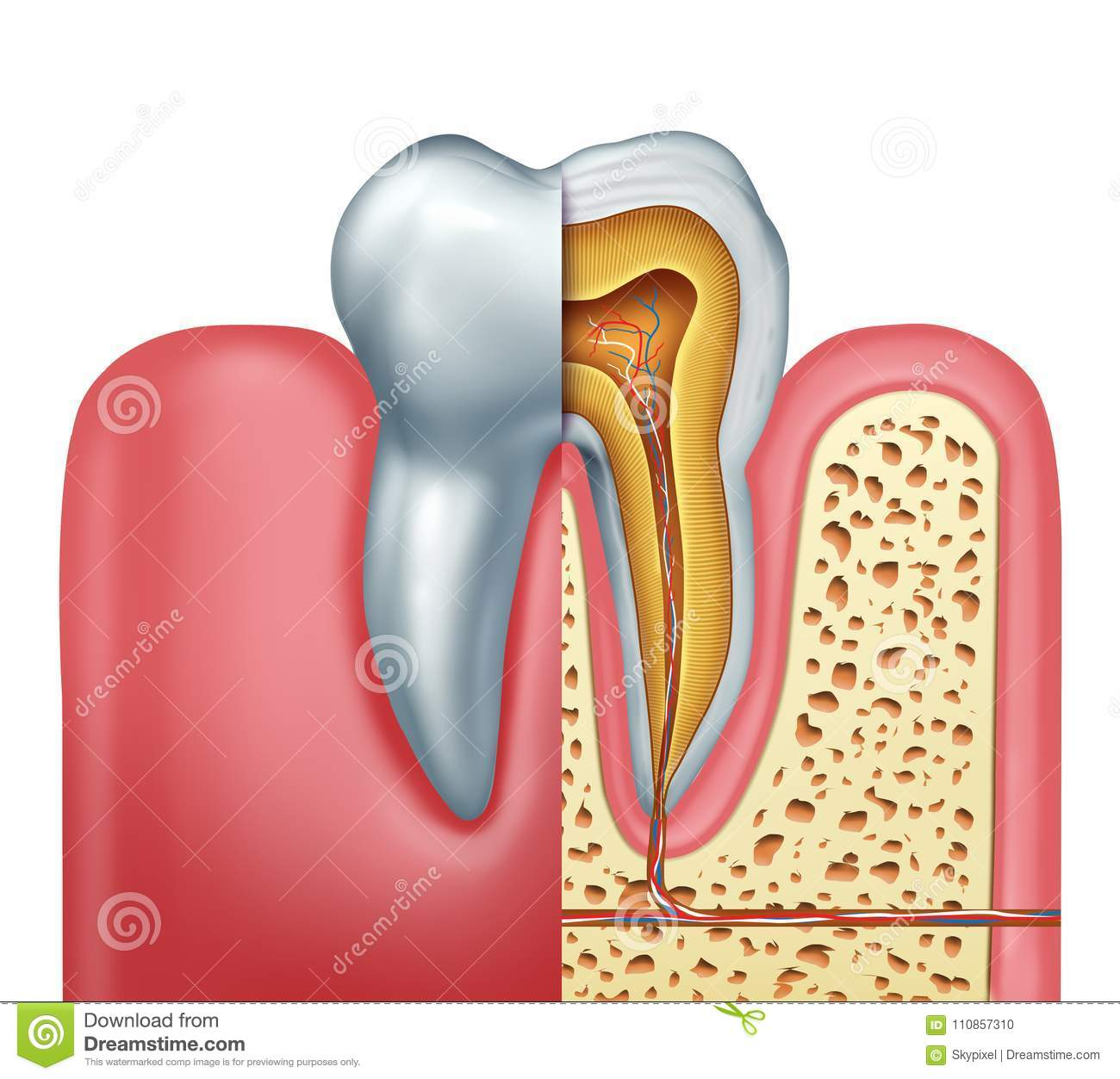 Human Tooth Anatomy Concept Stock Illustration Illustration Of
