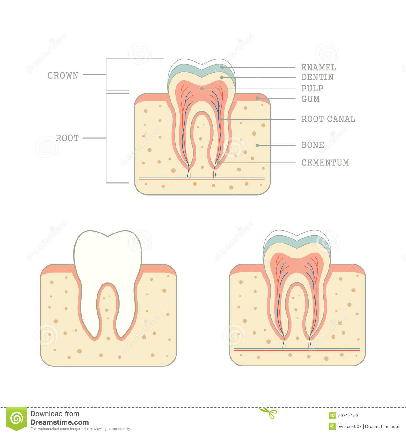 Human tooth anatomy stock vector. Illustration of medical - 53812153