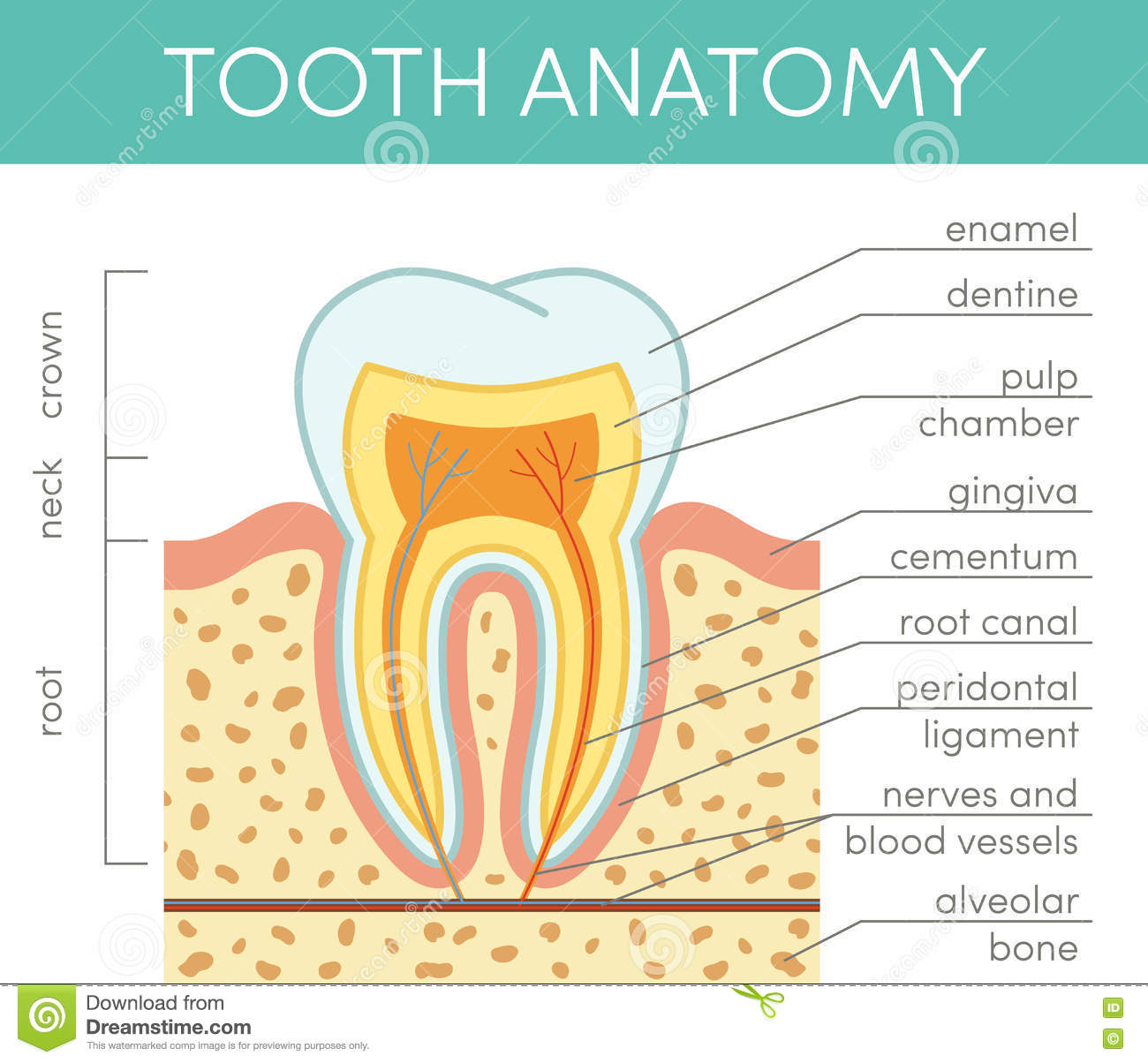 Human Tooth Anatomy Stock Illustration Illustration Of Cavity