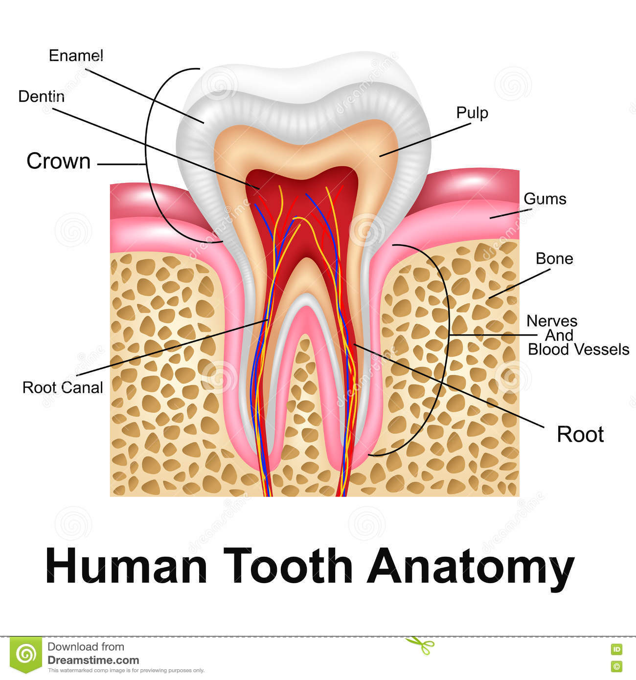 Human Tooth Detailed Anatomy Stock Vector Illustration Of Dental